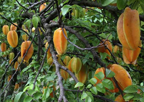 Star fruit hang like golden lanterns