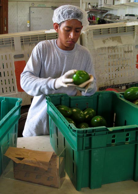 Cleaning and grading avocados.