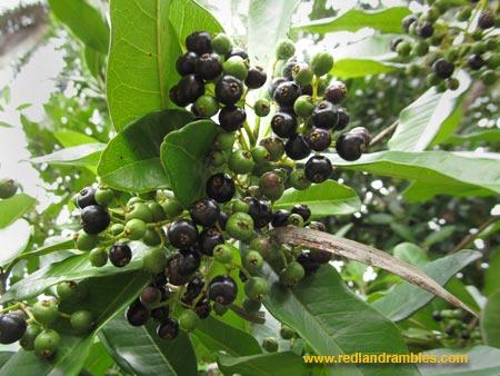 Ripe allspice berries