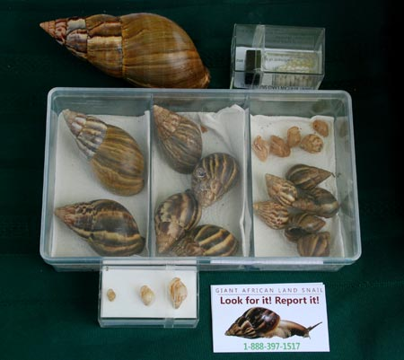 Giant African Land Snails (GALS) in carious stages of growth. A sample of their eggs is in the upper right corner.