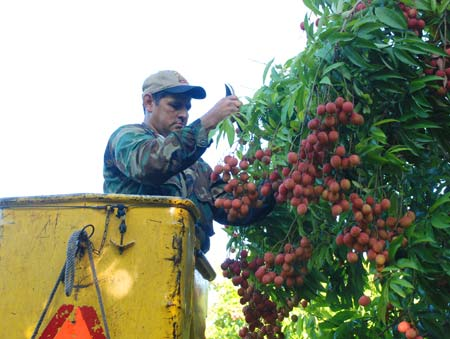 Juan, up in the bucket, picking lychhes.