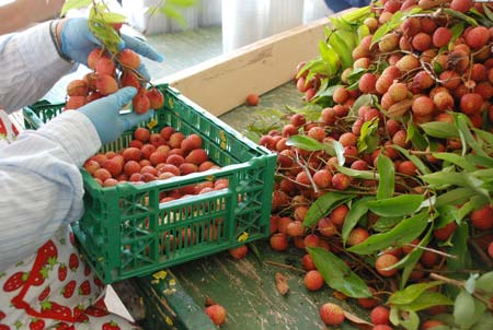Lychees going from the branch to the bin.