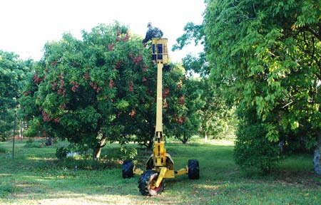 Picking lychees with a cherry picker.