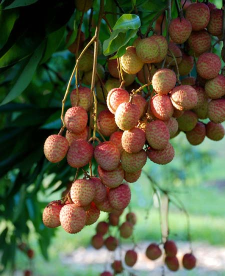 Clusters of lychees ripening in the morning sun.