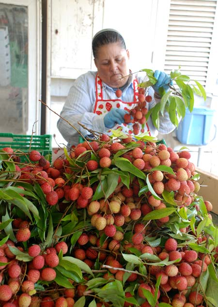 Leticia removes fruit from the clusters, in preparation for sorting and packing.