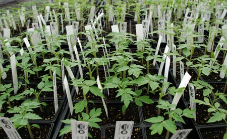 Heirloom tomato seedlings.