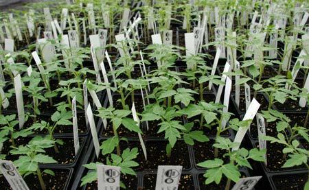 Heirloom tomato seedlings.